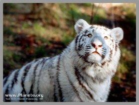 tigreblanc4b.jpg