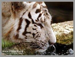 tigreboit6b.jpg